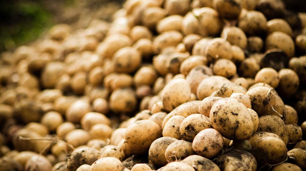 Elde Kalan Tonlarca Patates Soğan Çürümeye Başladı!