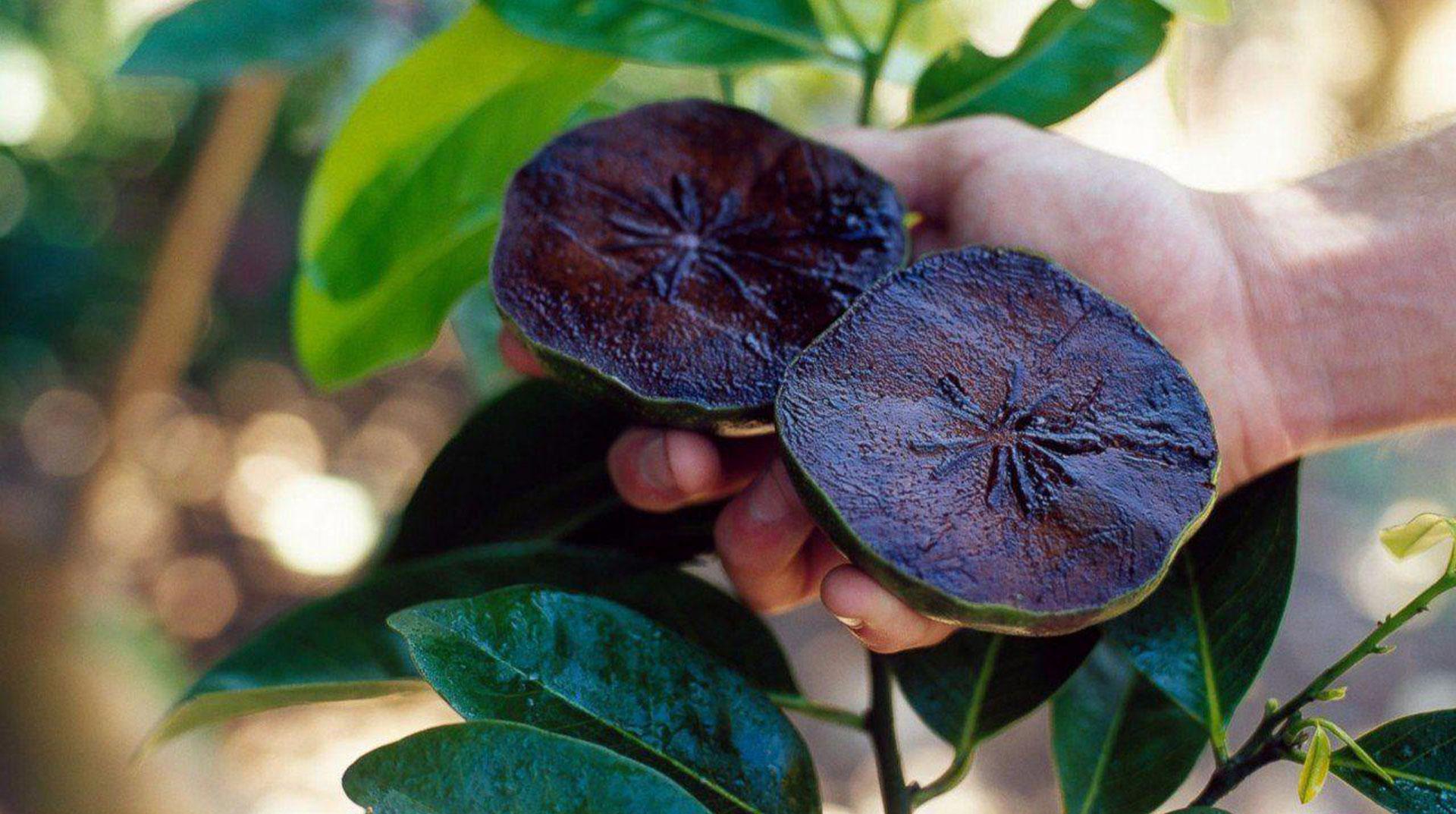 Ağaçta Çikolata Yetiştirmek! Dalından Toplayıp Ekmekle Yediler