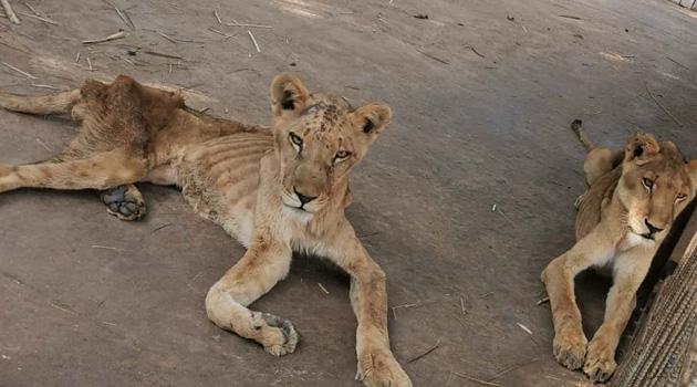 Hayvanat bahçesinde açlıktan ölmek üzere olan aslanlar görüntülendi
