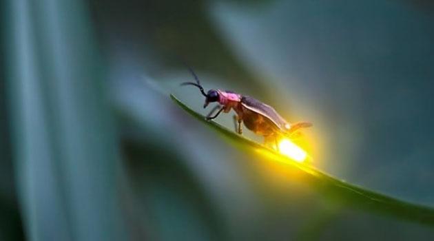 %100 Verimle Işık Üreten Ateş Böcekleri