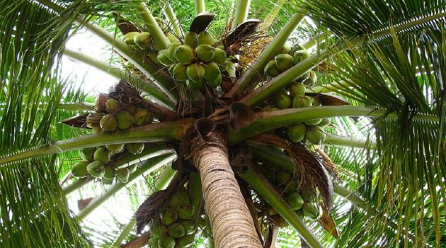Hayat Ağacı Olarak Bilinen Hindistan Cevizi Ağacı