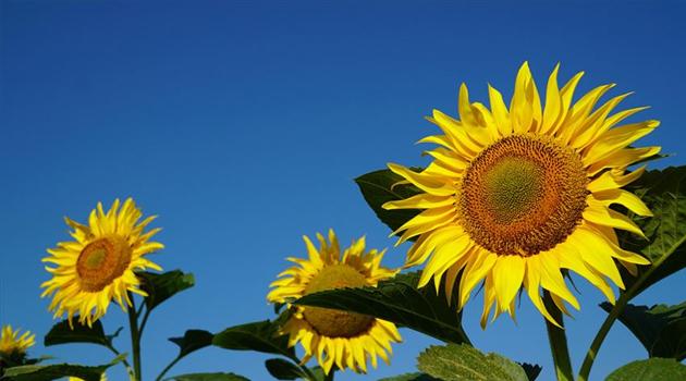 Rusya'dan ayçiçek kabuğu ithal edilmeye başlandı