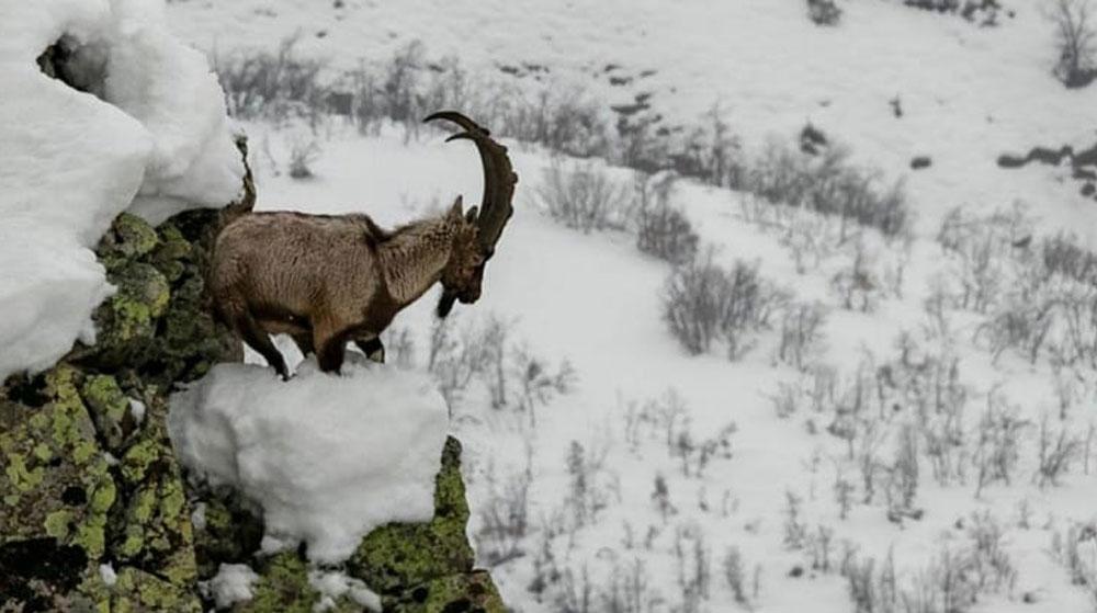 Dağ keçilerinin avlanması ihalesi iptal edildi