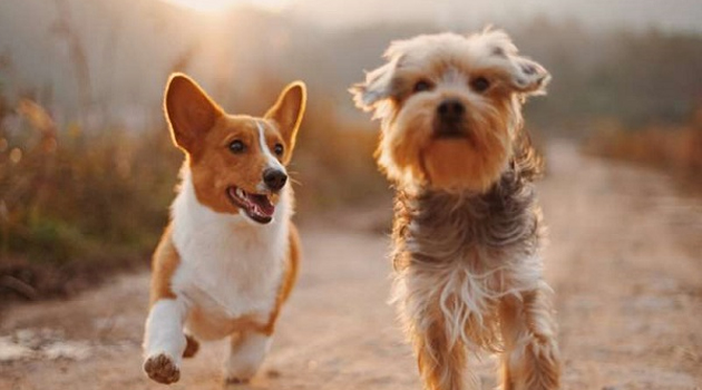 'Köpekler, Dünya'nın manyetik alanını kullanarak yön bulabiliyor'
