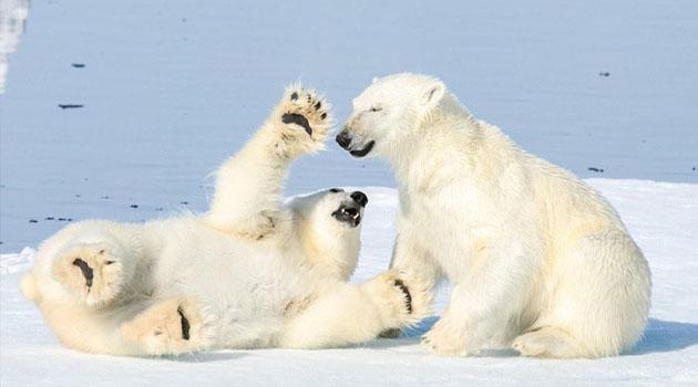 2100 yılına kadar kutup ayılarının nesli tükenebilir