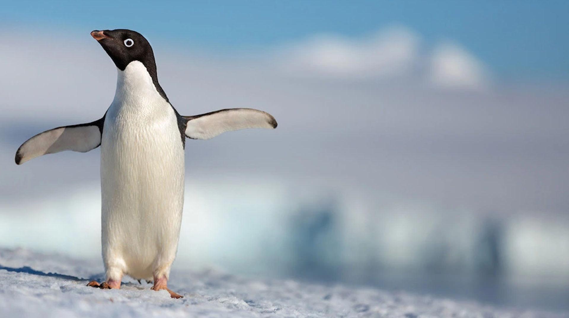 Yeni Zelanda'da insan boyunda dev penguen fosili bulundu
