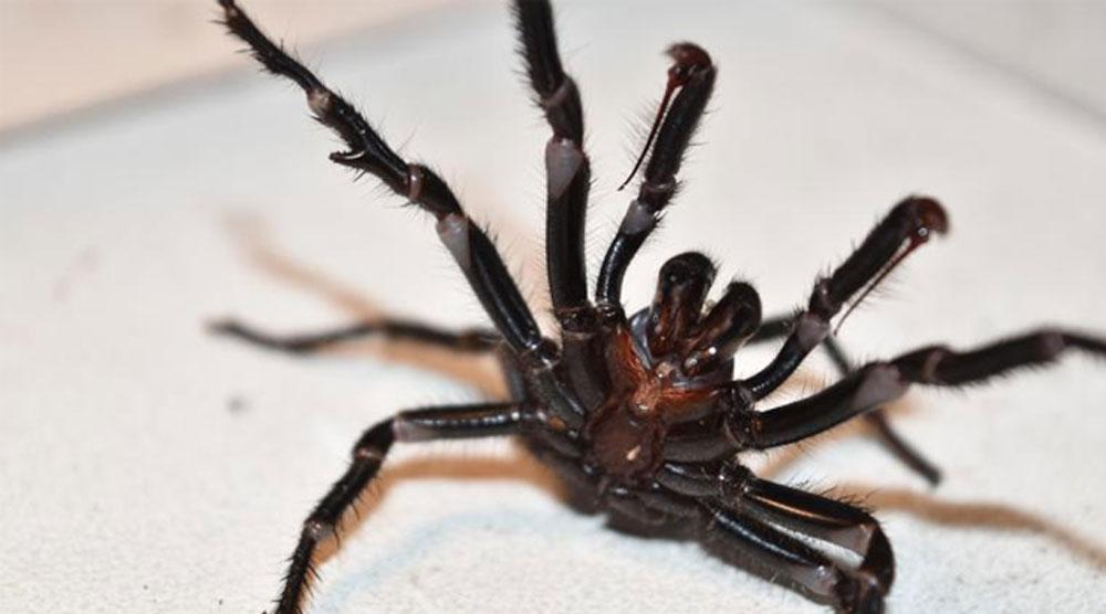 Avustralya'da bu kez de 'zehirli örümcek' uyarısı yapıldı