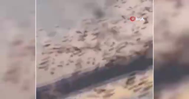 Suudi Arabistan'ın doğusunu binlerce çekirge bastı