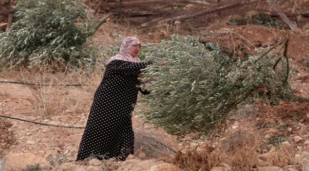İşgalciler Batı Şeria'da Filistinlilere Ait Zeytin Ağaçlarını Söktü