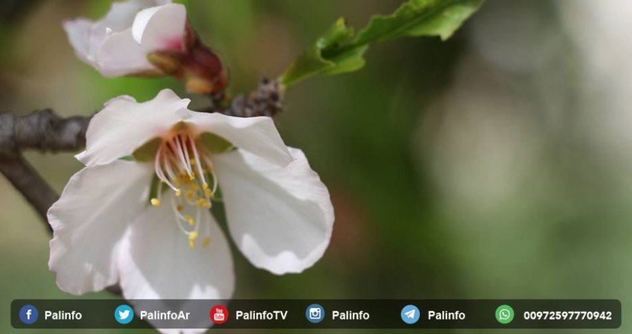 Gazze'de Badem Mevsimi
