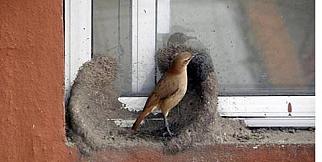 Bakın kuşlar nasıl yuva yapıyor