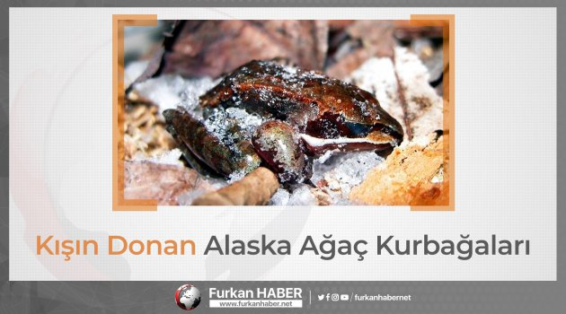 Kışın Donan Alaska Ağaç Kurbağaları