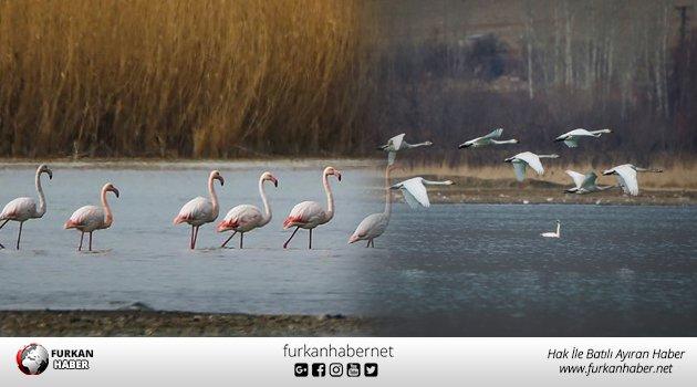Kuğu ve flamingolardan Van gölünde tefekkürlük görüntüler