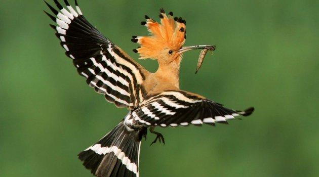 Kuran'da Geçen Hüdhüd Kuşu