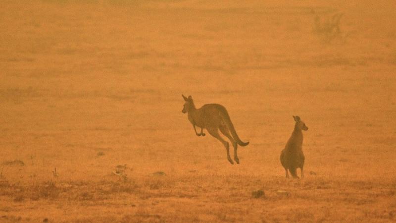Avustralya'daki yangınlar 3 milyar hayvanı etkiledi