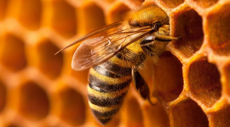 Bal arısının zehri, laboratuvarda kanser hücrelerini yok etti