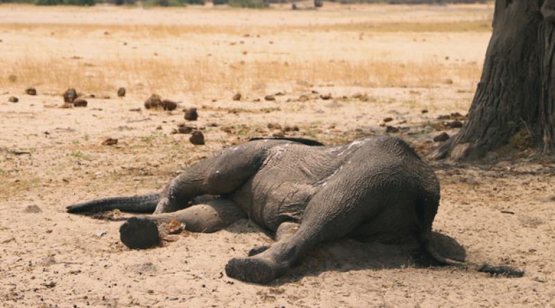 Zimbabve'de 11 fil şarbon salgını nedeniyle öldü