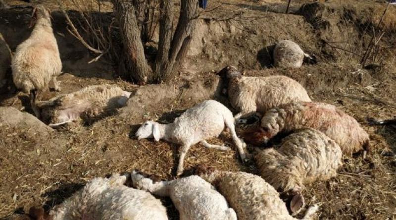 Antalya'da yıldırımın isabet etmesi sonucu 39 koyun telef oldu