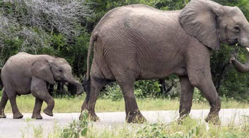 Zimbabve'de kuraklık: 200 fil öldü