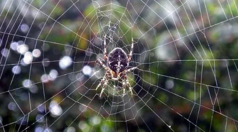 Avustralya'da sel ve fare istilasının ardından şimdi de her yeri örümcek ağı kapladı