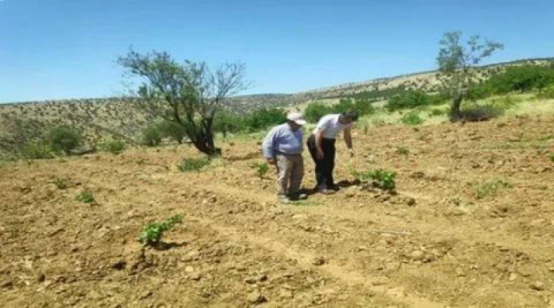 Çekirgeler Muş Ovası'na doğru ilerliyor, çiftçiler endişeli