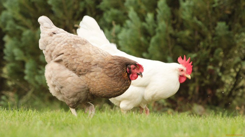 Türkiye'de tavuk eti ve yumurtası üretimi azaldı