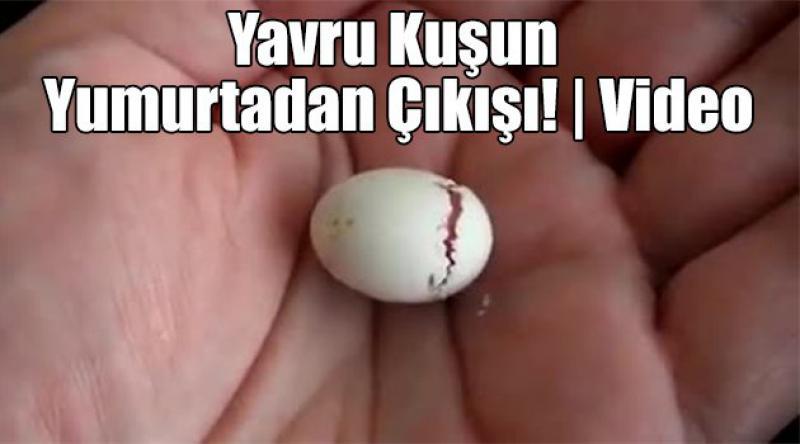 Yavru Kuşun Yumurtadan Çıkışı! | Video